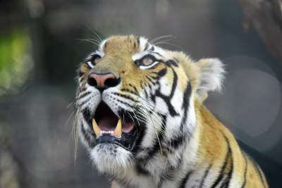 Tiger in Vandalore Zoo