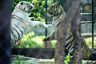 Fighting Tigers in Nama Vandalore Zoo