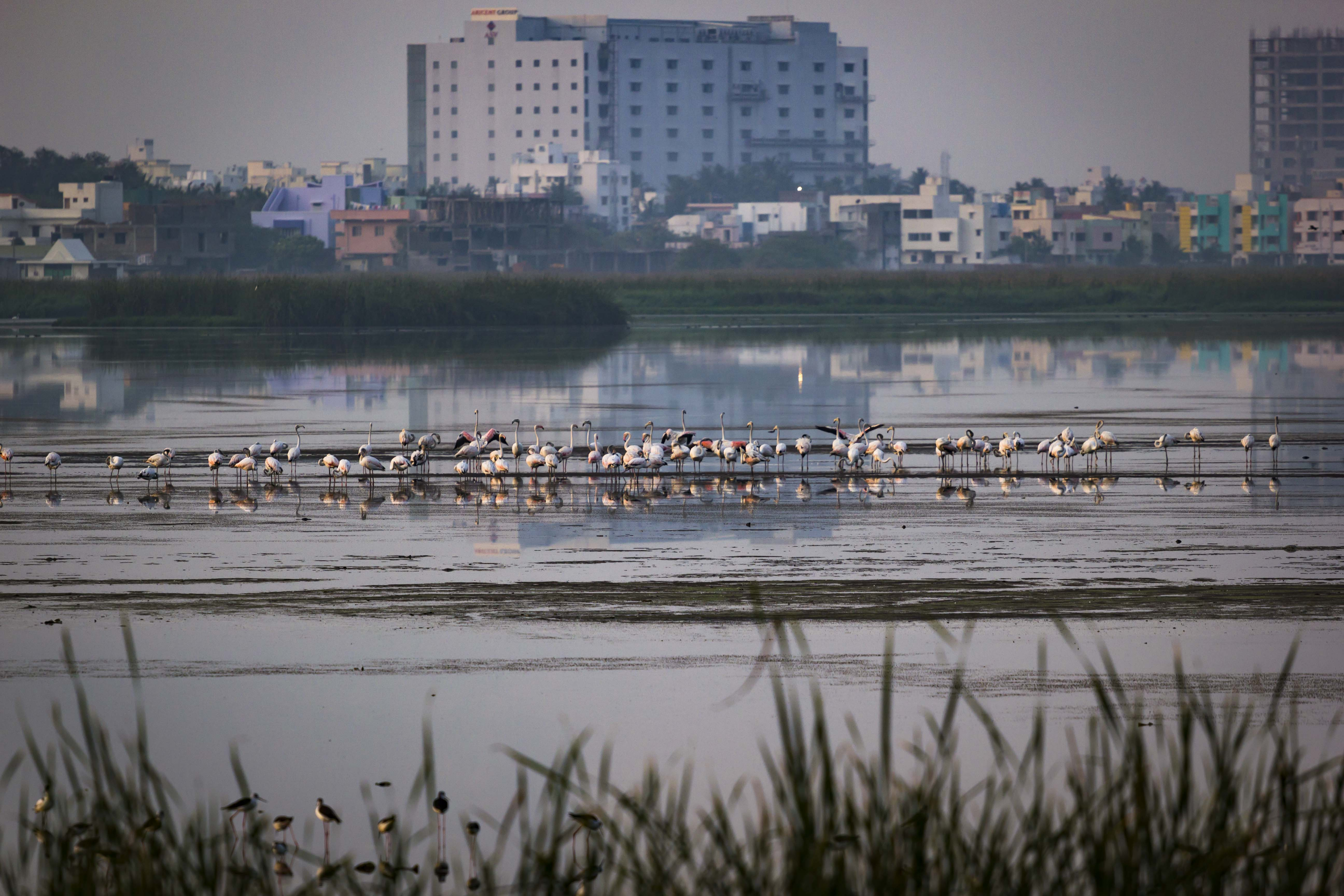 Birds Looking at Cityscape at Pallikaranai Marshland