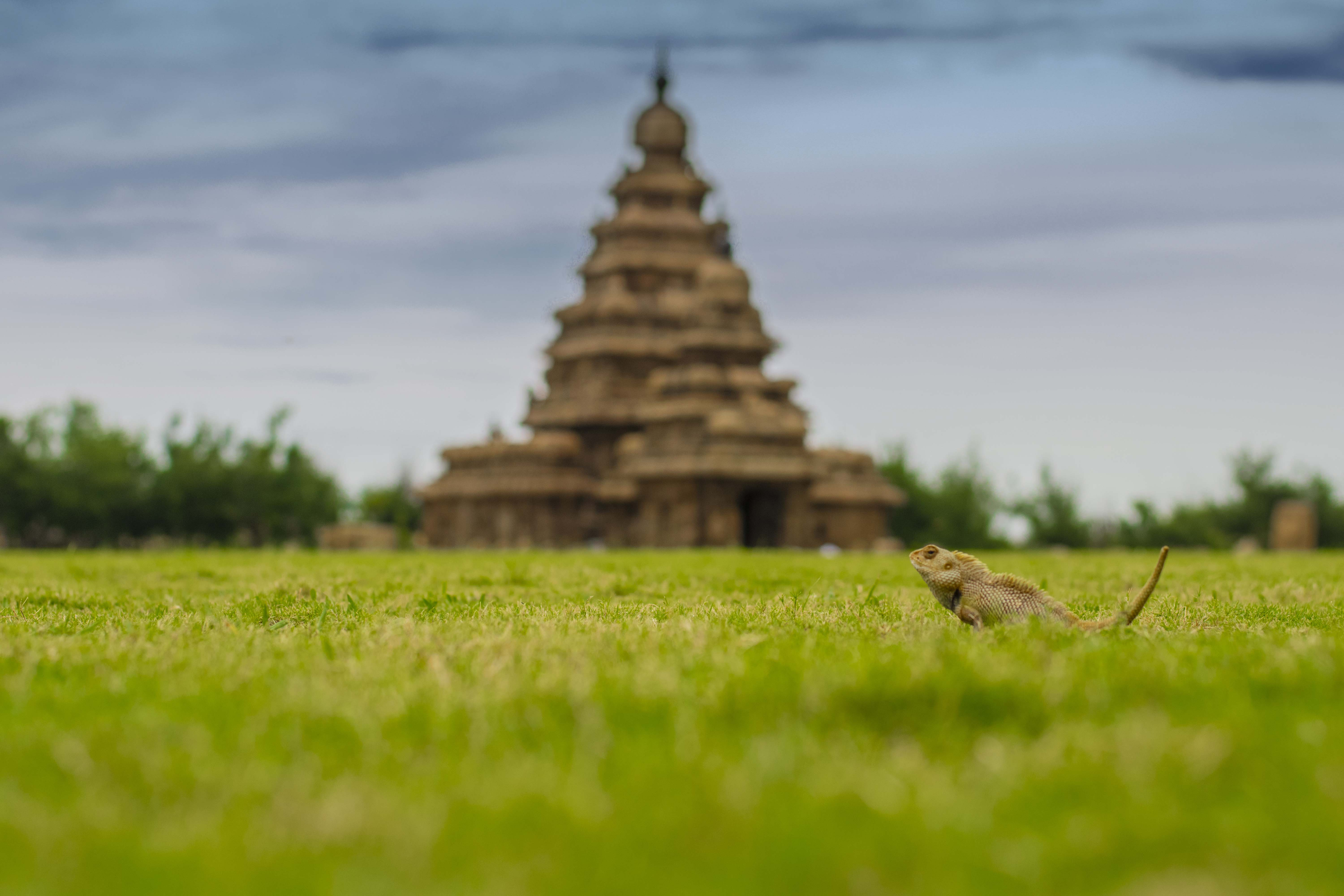 lizard view of mahappallipuram