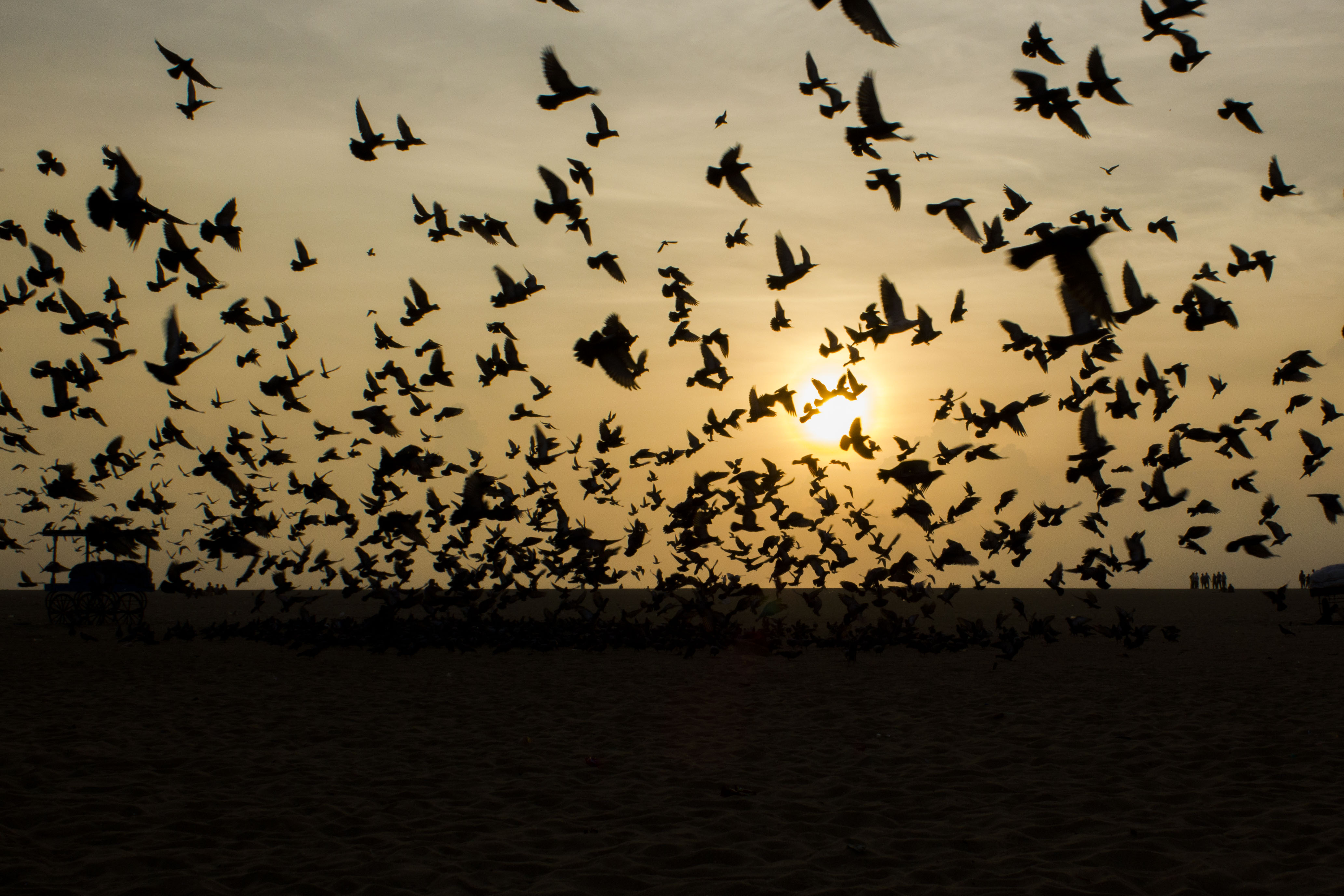 pigeons on fly at marina beach during sunrise